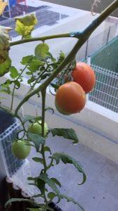 Tomatera en el huerto de mi terraza